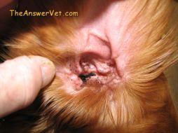 Waxy Dog Ear